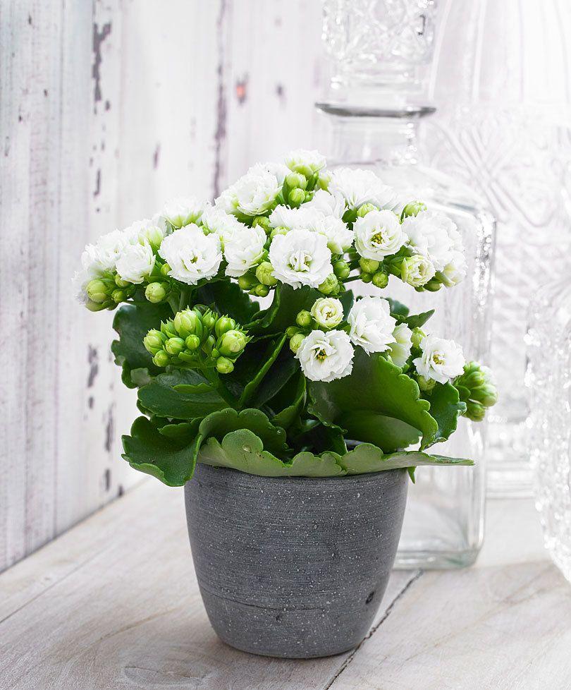 Double Flowered Kalanchoe Grandiva White Plantsflowers