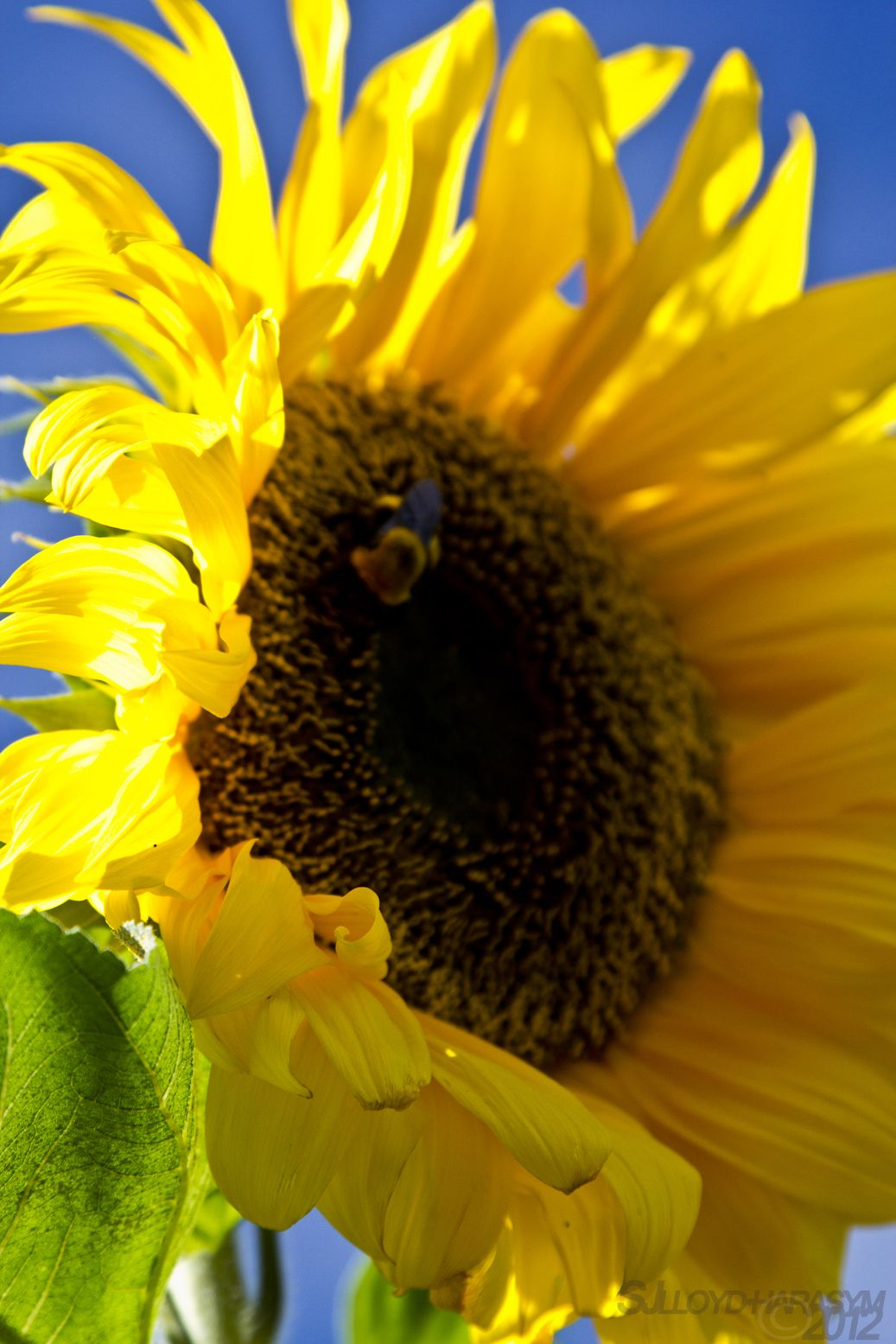 sunflowers makes me just feel happy