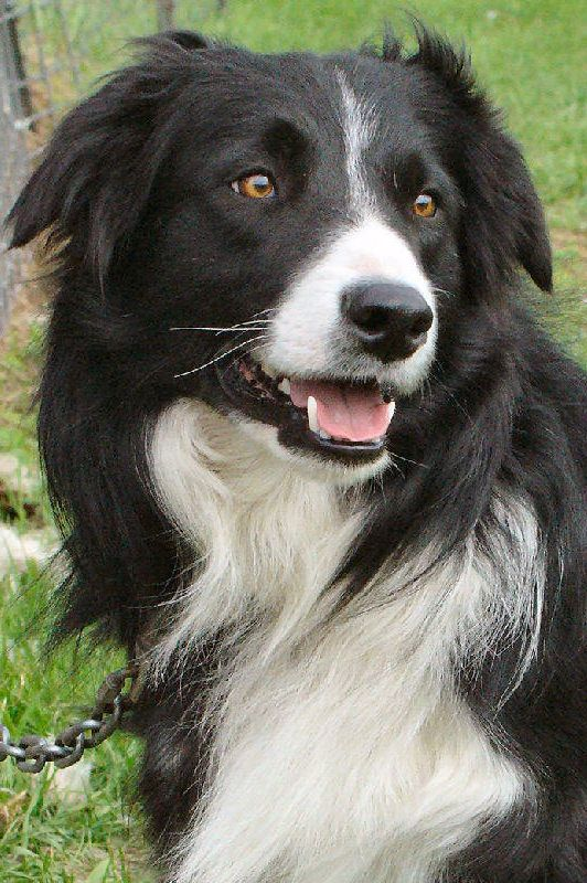 Border Collie Border Collie Dog Collie Dog Collie
