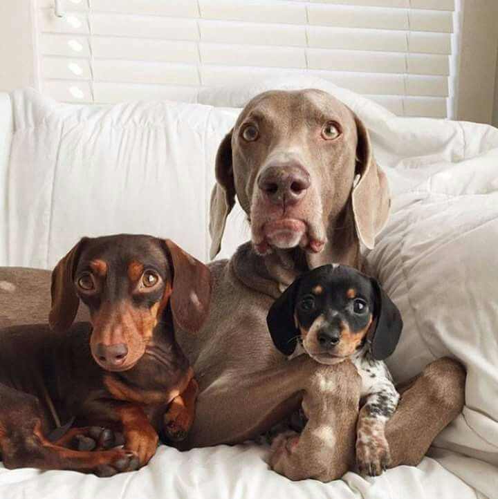 Family Pose Cute Dogs Dogs Animals
