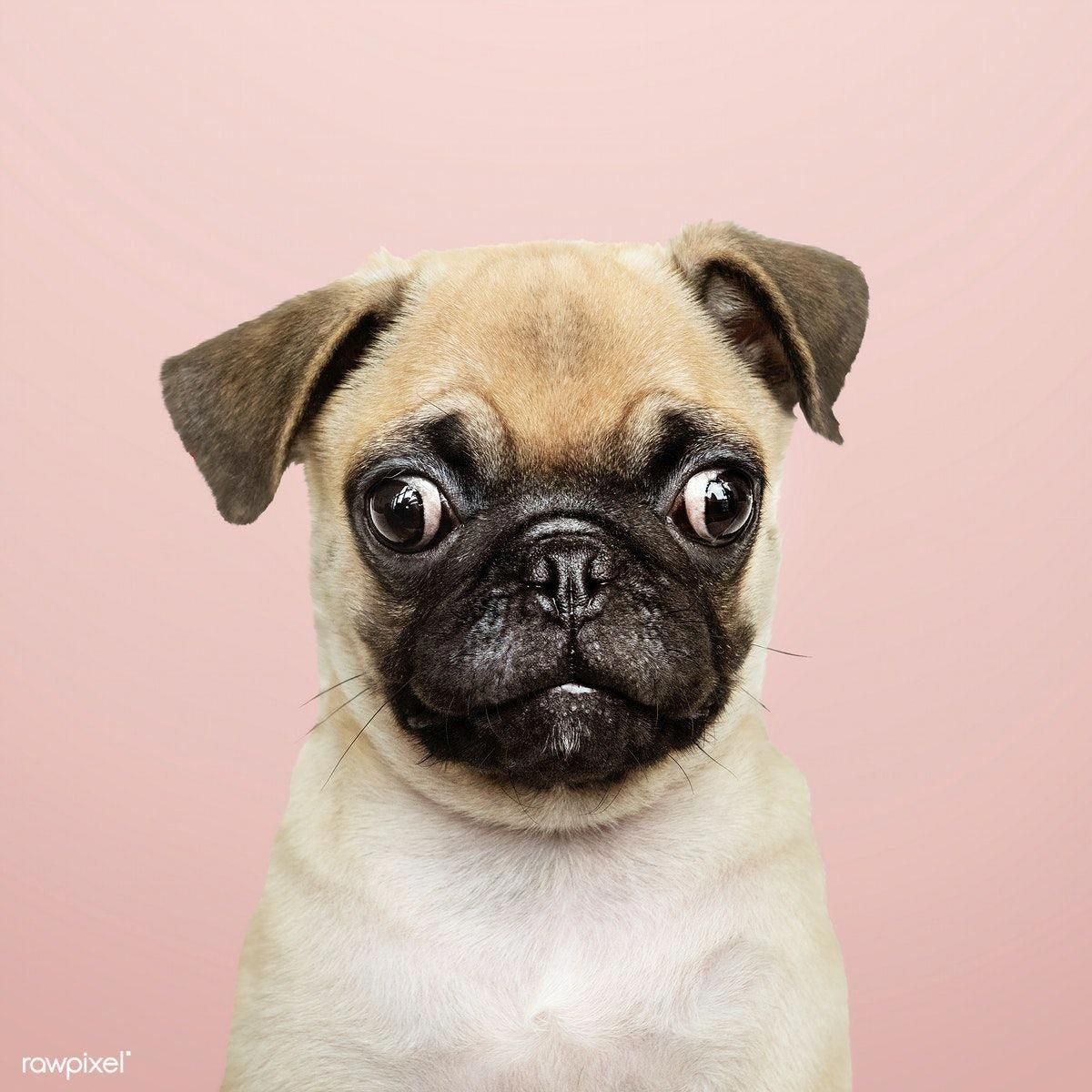 Check out our site for more information on pug