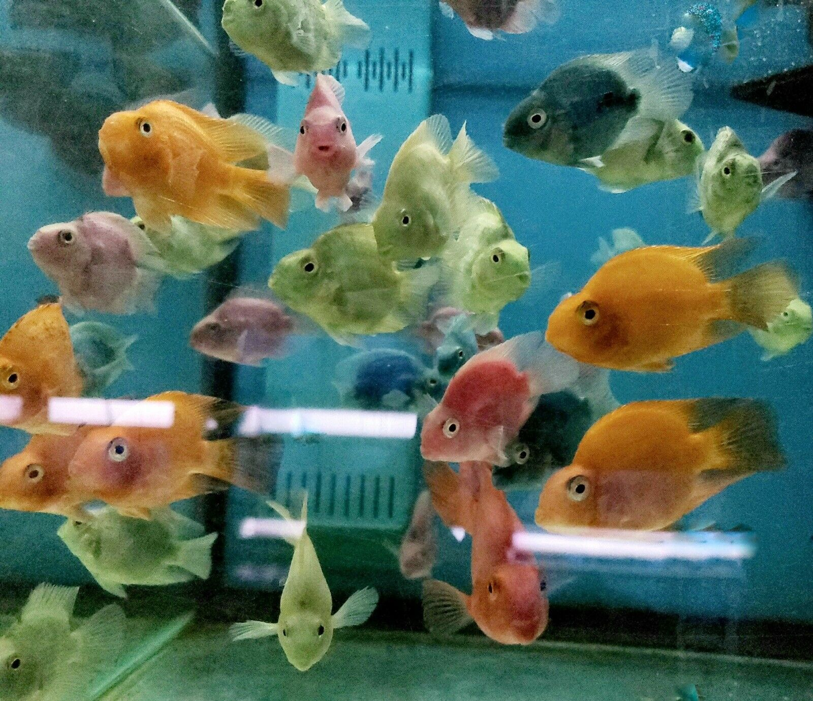 Parrot Cichlid In Multiple Color Varieties Free Expedited Shipping In 2020 Cichlids Fish Pet Parrot
