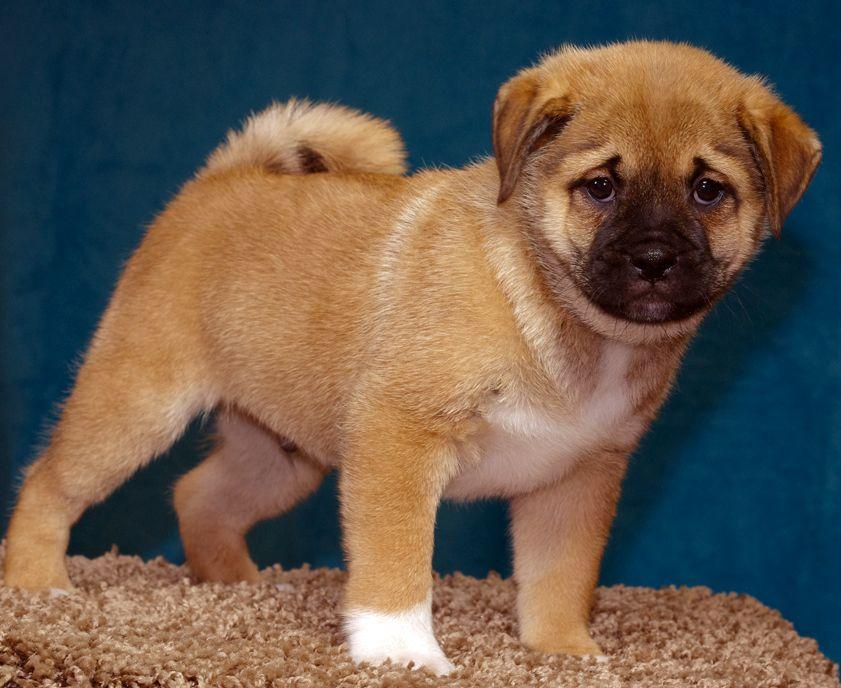 Shiba Inu Pug Mix Google Search Mutt Dog Dog Crossbreeds Pug Mix
