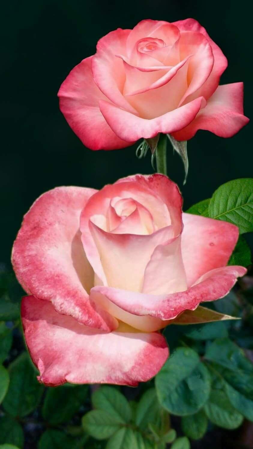 Pin By Cheryl Watkins On Flower Arrangements Rose Beautiful Roses Bibit Bunga Hibiscus Bicolor Striped Flowers