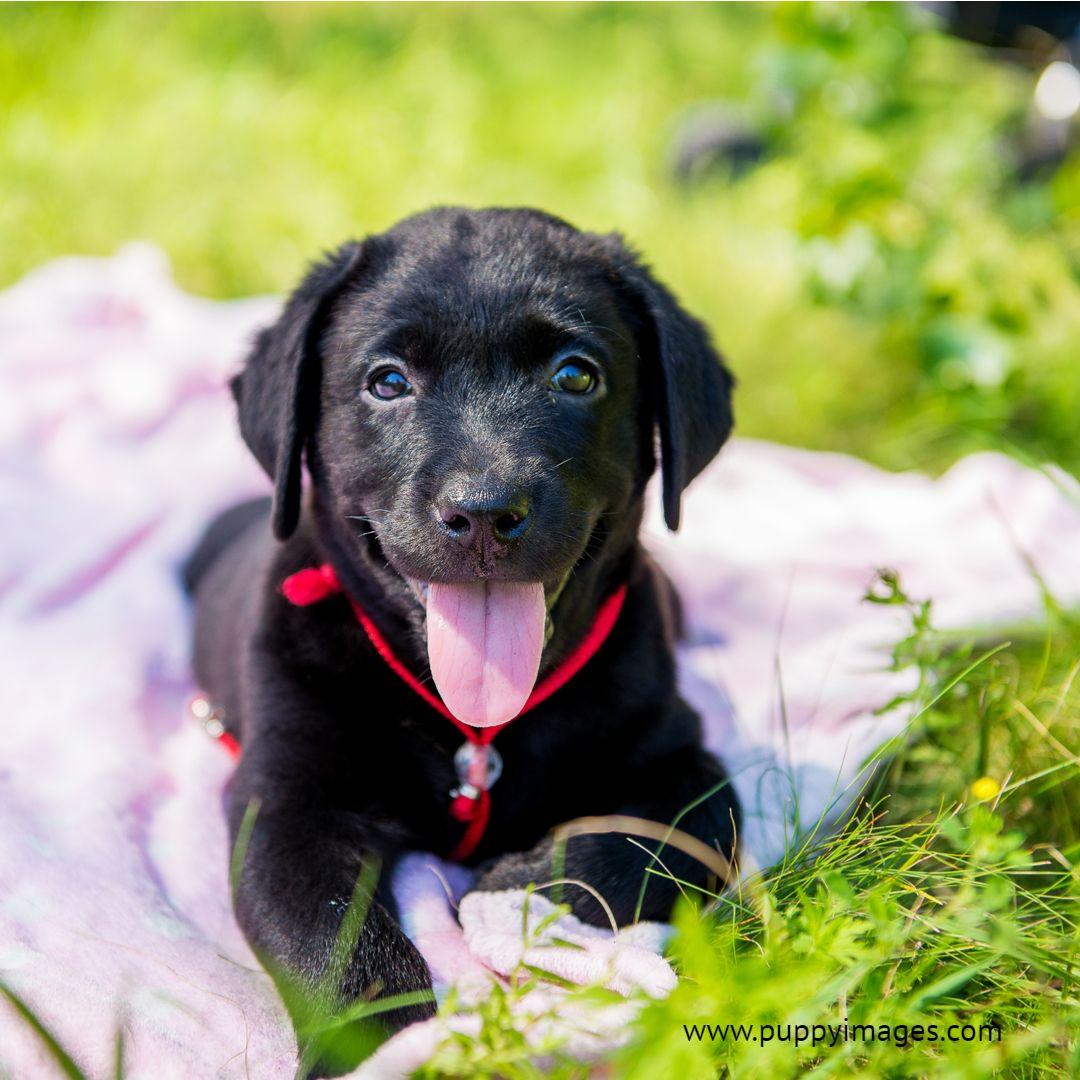 Black Lab Puppy Loyal dog breeds, Labrador retriever
