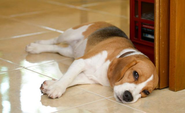 Gastrointestinal Obstructions In Dogs What Every Owner Needs To