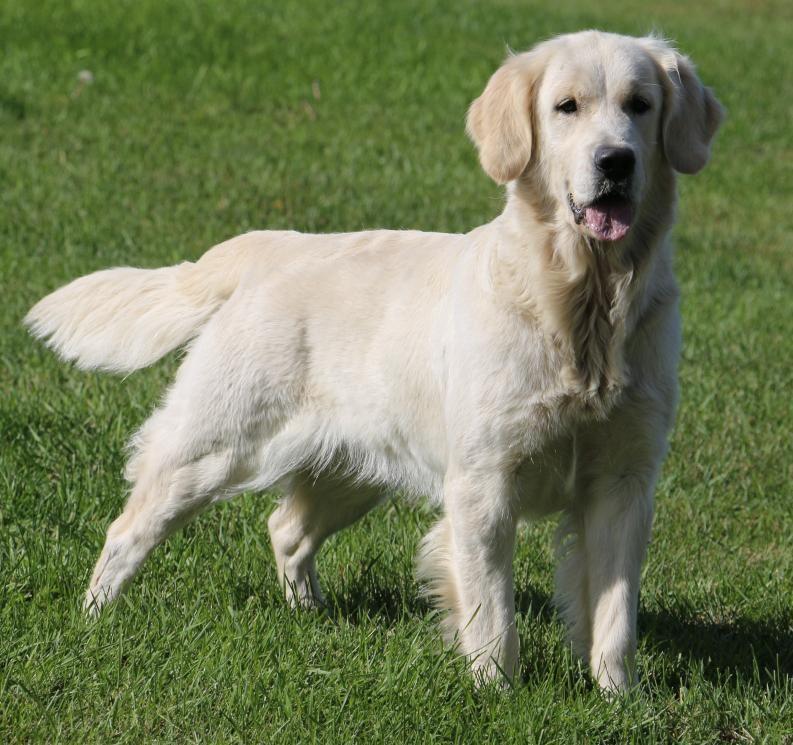 English Cream English Golden Retriever Puppies Carson