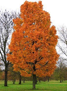 Acer Platanoides Columnare Trees Garden Deciduous Trees