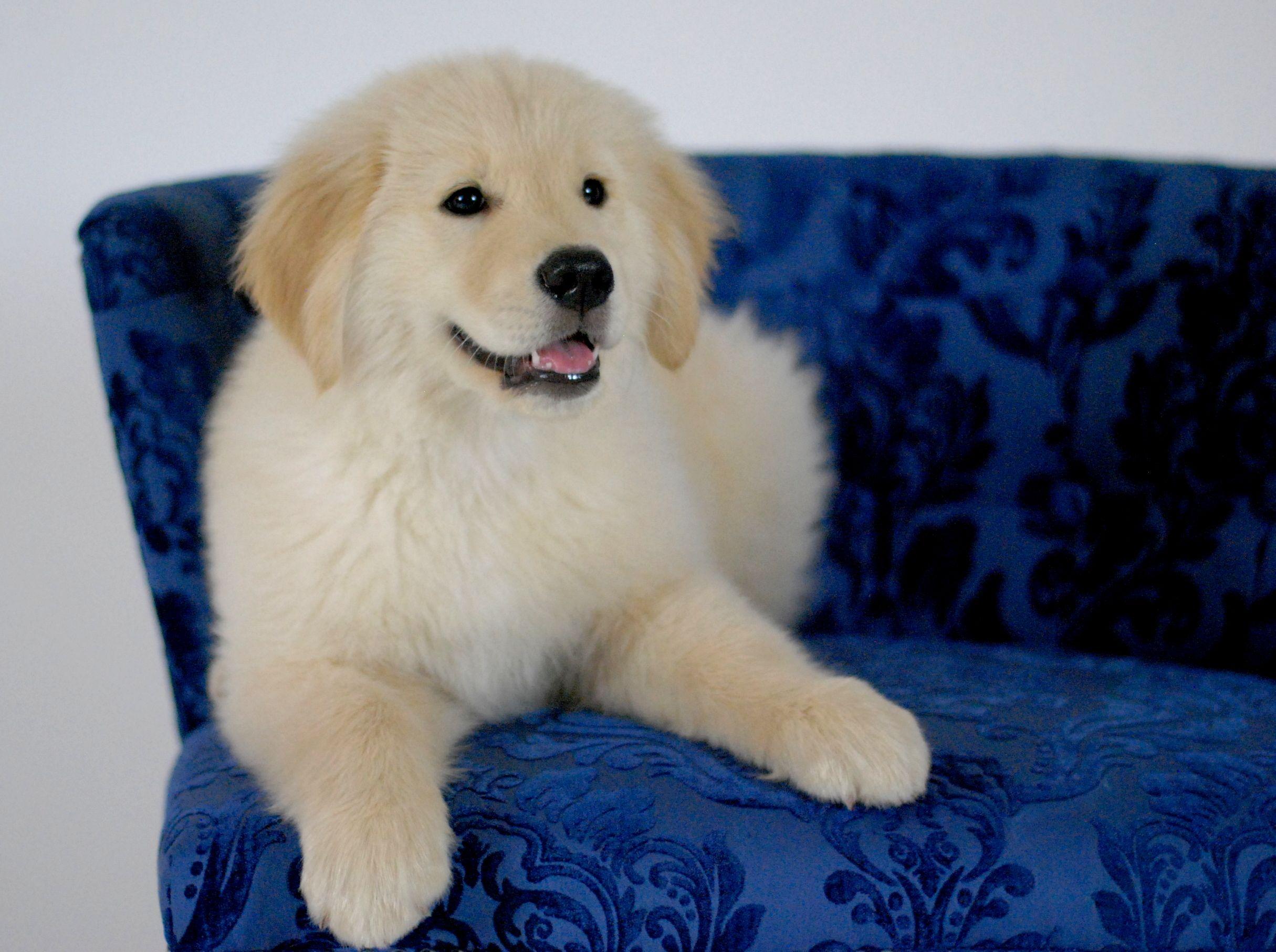 Cooper Dog Photo Contest Cat Dog Photo Golden Retriever