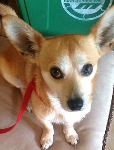 Adopt Champ On Petfinder Corgi Chihuahua Mix Corgi Chihuahua