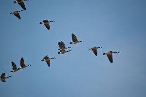 Novel Technology Reveals Aerodynamics Of Migrating Birds Flying In A V Formation Bird Migration Birds Flying Animal Intelligence