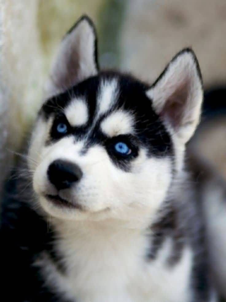 The Different Types Of Siberian Huskies Husky With Blue Eyes