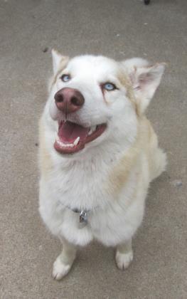 Petango Com Meet Kuma A 1 Year Siberian Husky Mix Available