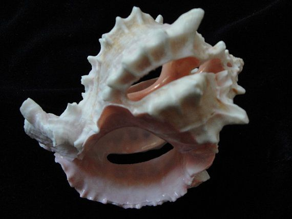 Find Pink Murex shells all over the beach, just not cut like this one.