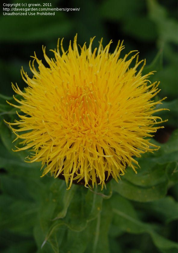 Yellow Hardhead Bighead Knapweed Giant Knapweed Armenian Basketflower Lemon Fluff Knapweed Centaurea Macrocephala In 2020 Species Flowers Fluff