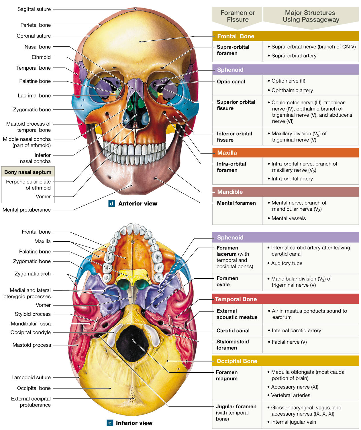 Cranial Bones Of The Skull Worksheet