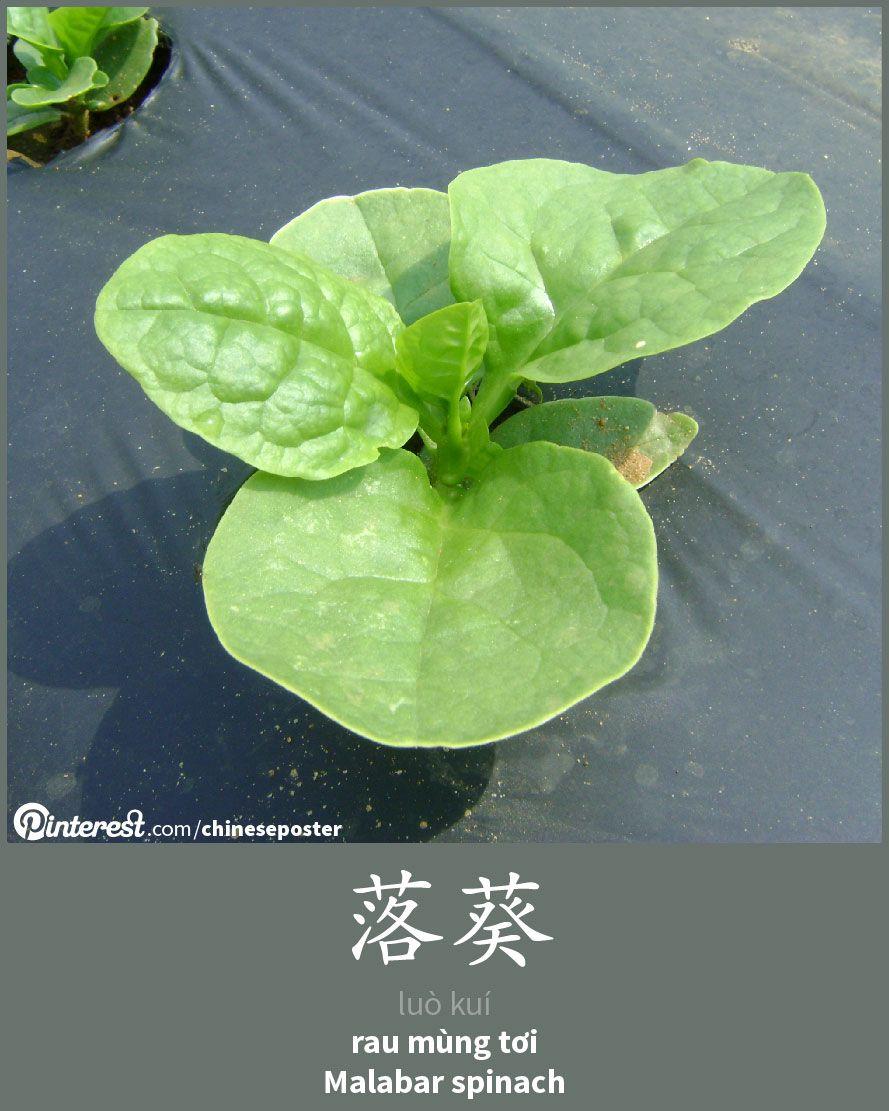落葵 - Luò kuí - rau mùng tơi - Malabar Spinach | Tiếng trung quốc. Ngôn ngữ và Rau củ