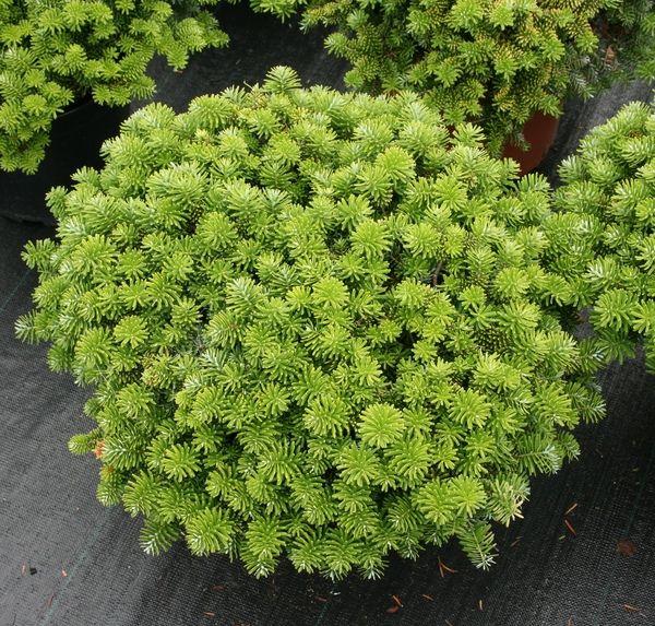 Korea-Zwergtanne (Abies koreana  - pflanzen fur steingarten immergrun