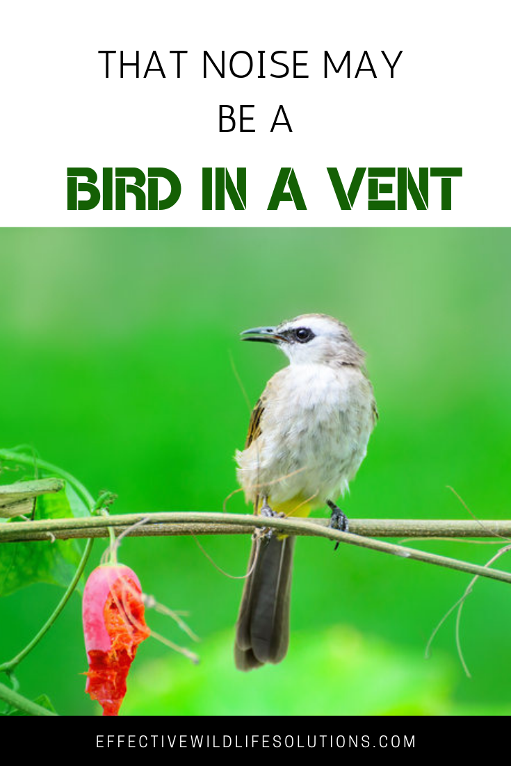 That Noise May Be A Bird In A Vent Removing Birds Birds Vented