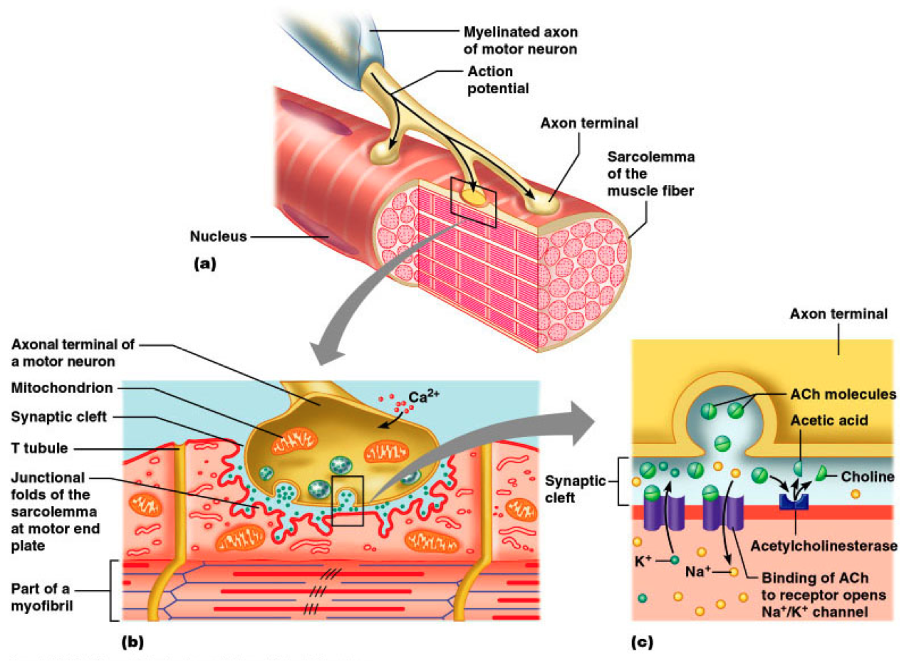 What Are The Components Of The Neuromuscular Junction Google