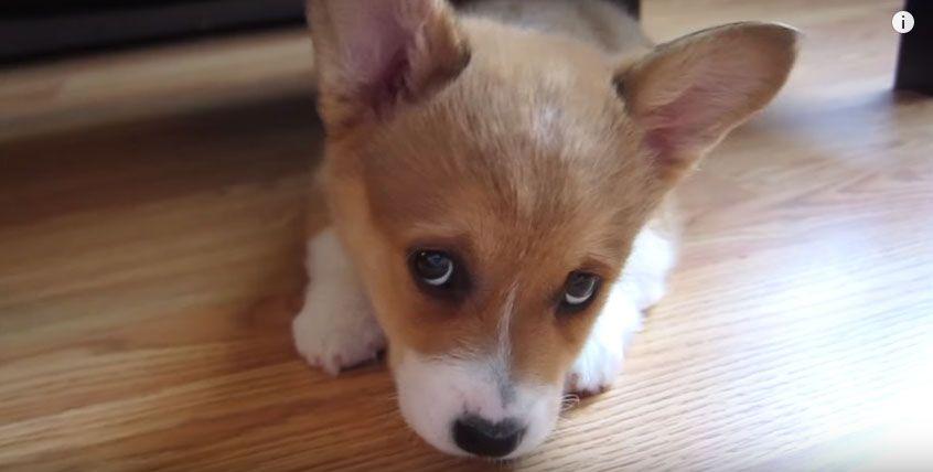 Video Watch These 35 Adorable Corgi Puppies And Make Your Day Even More Bright Corgi Pembroke Welsh Corgi Corgi Facts