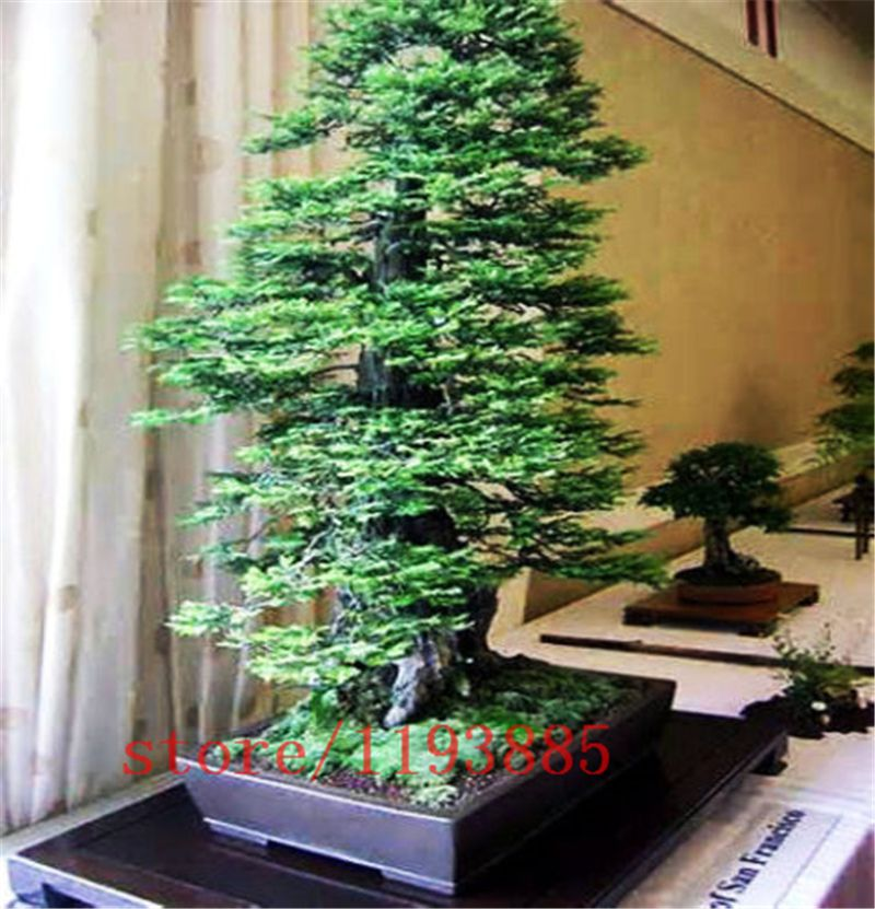 Pcsbag Coast Redwood Seeds Sequoia Sempervirens Bonsai Tree - Black hills spruce bonsai trees