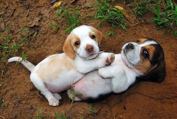 Playing Cute Beagles Beagle Puppy Puppies