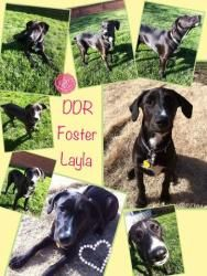 Adopt Layla On Rescues