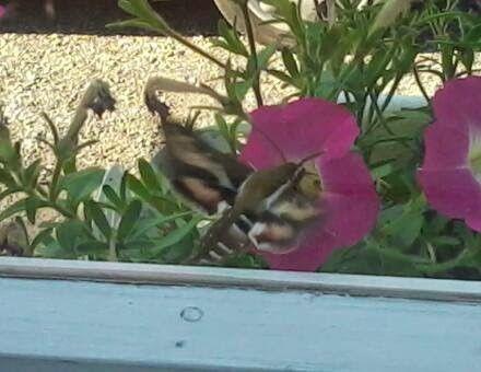 Vauhdikas siippiveikko ikkunalla kukkia tutkimassa