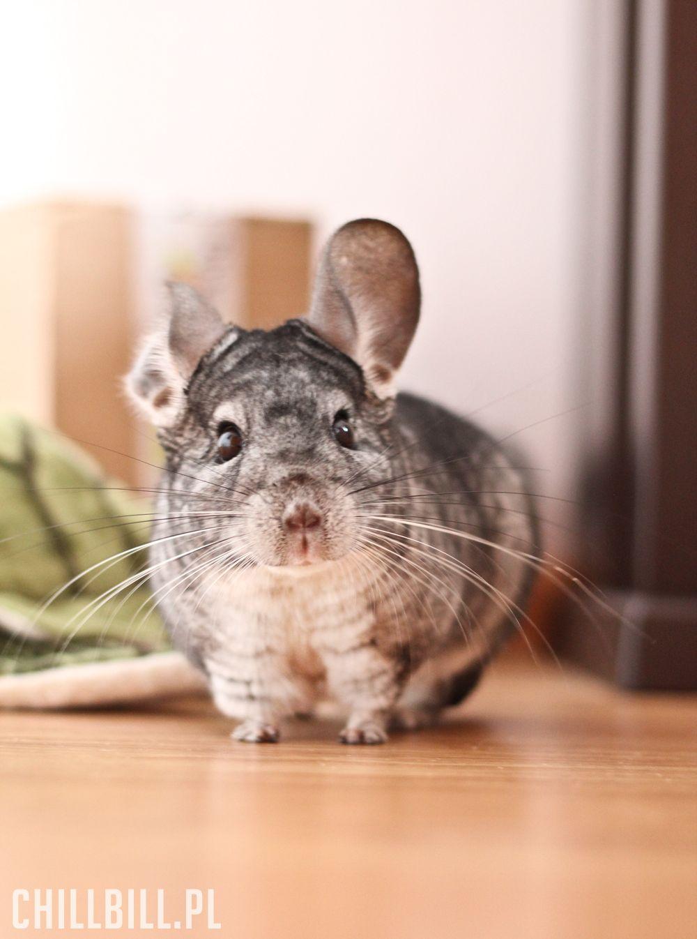 La chinchilla de cola larga es una especie de roedor de la familia  Chinchillidae.La chinchilla es más pequeña que la chinchilla chinc… e5ae7fc1f6