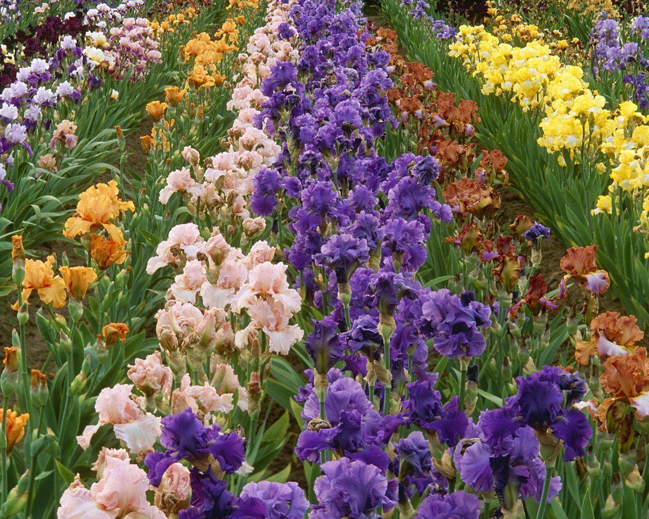 All the colors of the iris flower iris farm colors farm flowers all the colors of the iris flower iris farm colors farm izmirmasajfo Gallery