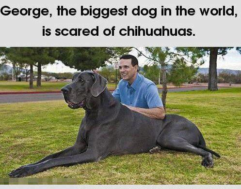 George The Biggest Dog In The World Is Scared From Chihuahuas
