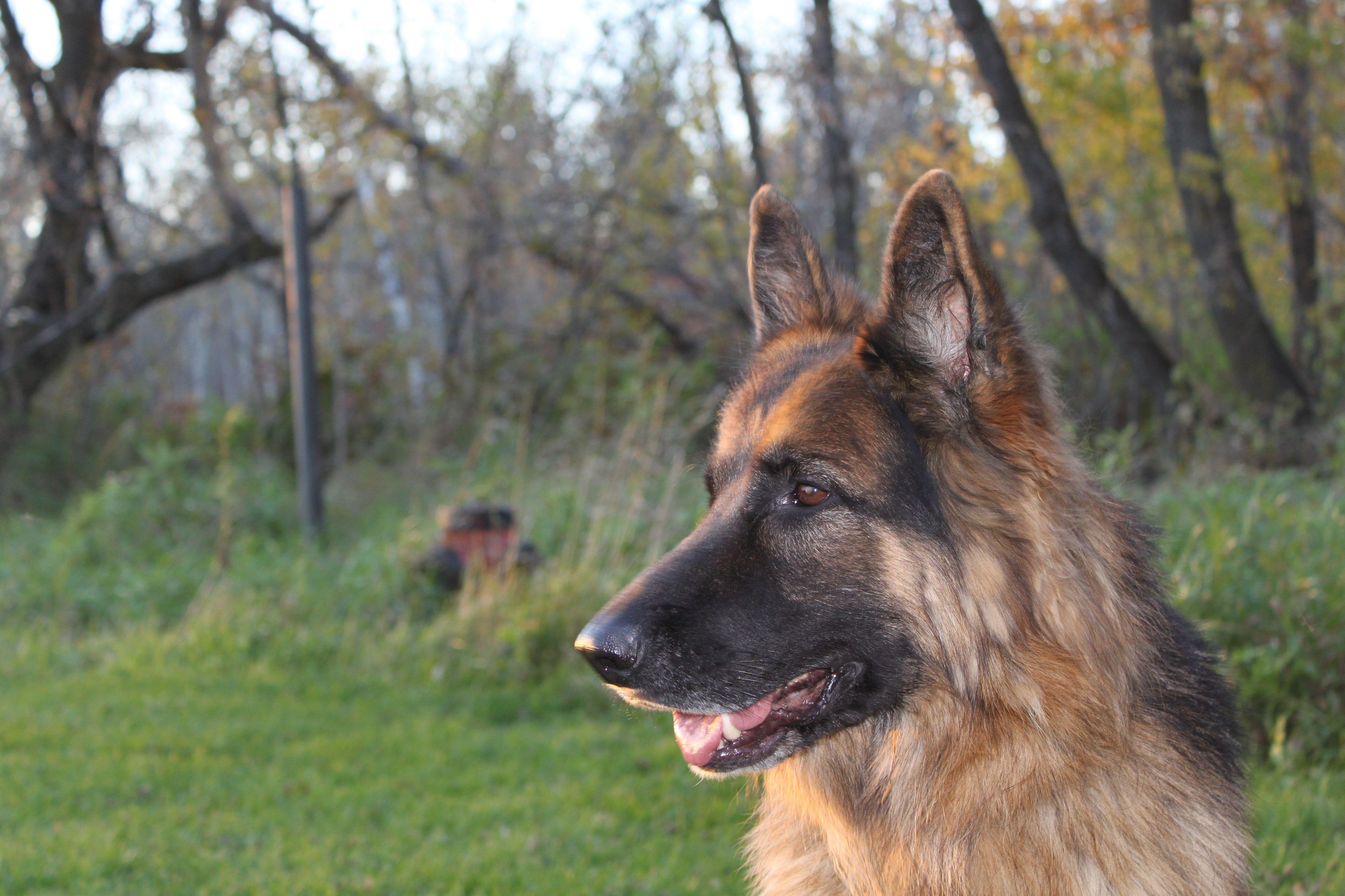 With The Woods Behind Side Profile German Shepherd Dogs Shepherd Dog Dog Photos