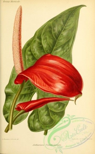 Flowers 29121 Anthurium Crombezianum 3071x4984 Old Illustration Artscult Masterpiece 18th 1900s Blooming Download Plants Natural 300 Dpi 17th Free Estampas