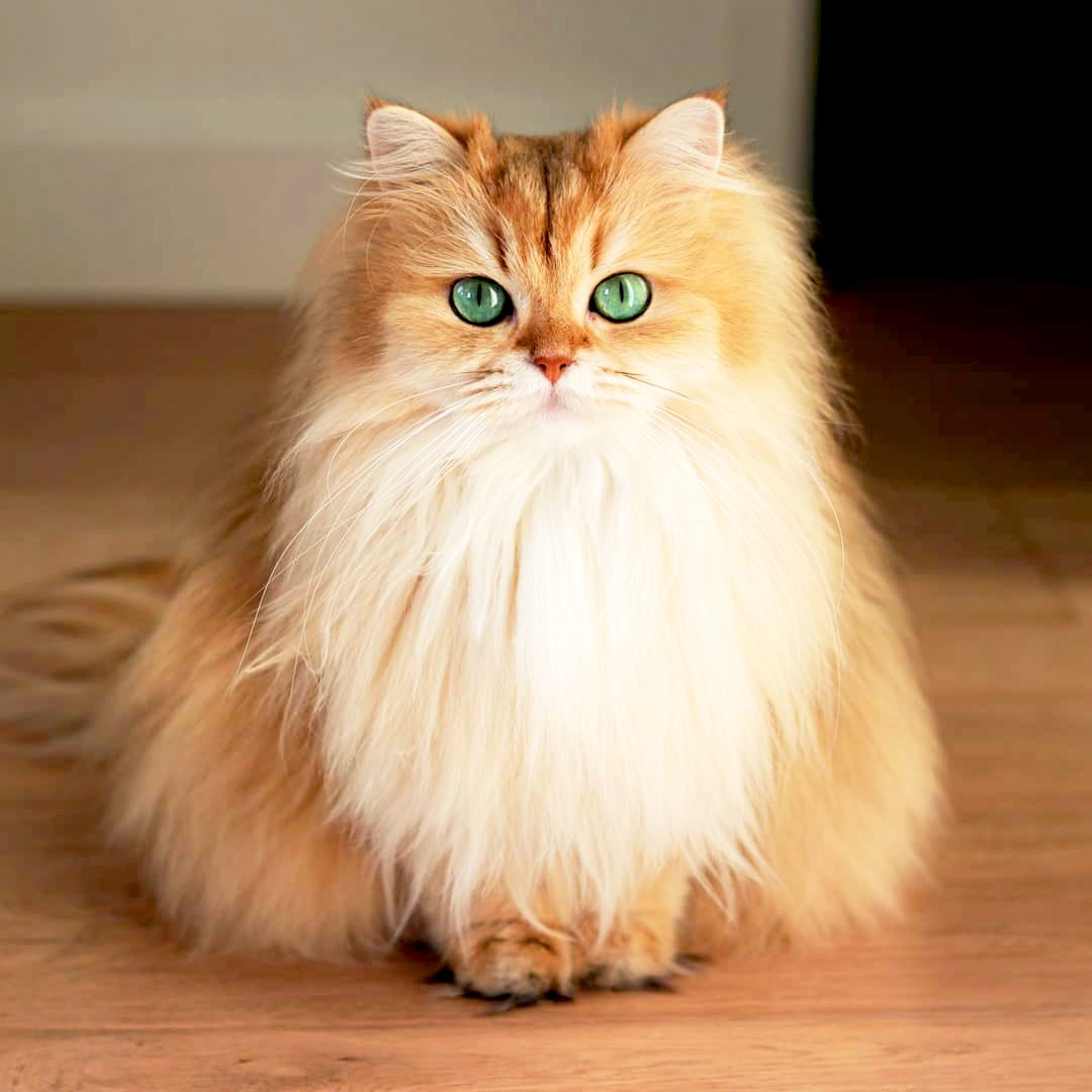 Smoothie,the British Longhair Known as 'The World's Most