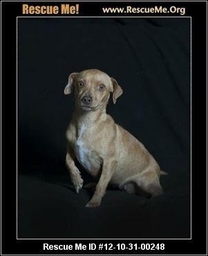 Julie Is A Stray South Carolina Dachshund Rescue Adoptions