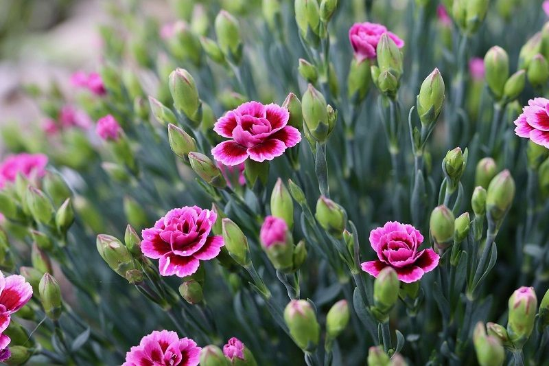 All About Carnation Flower Amazing Flowers Photos Beautiful Flowers Pictures Flower Pictures