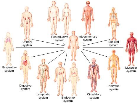 11 Systems Of The Human Body Body Systems Organ System Human Body Systems
