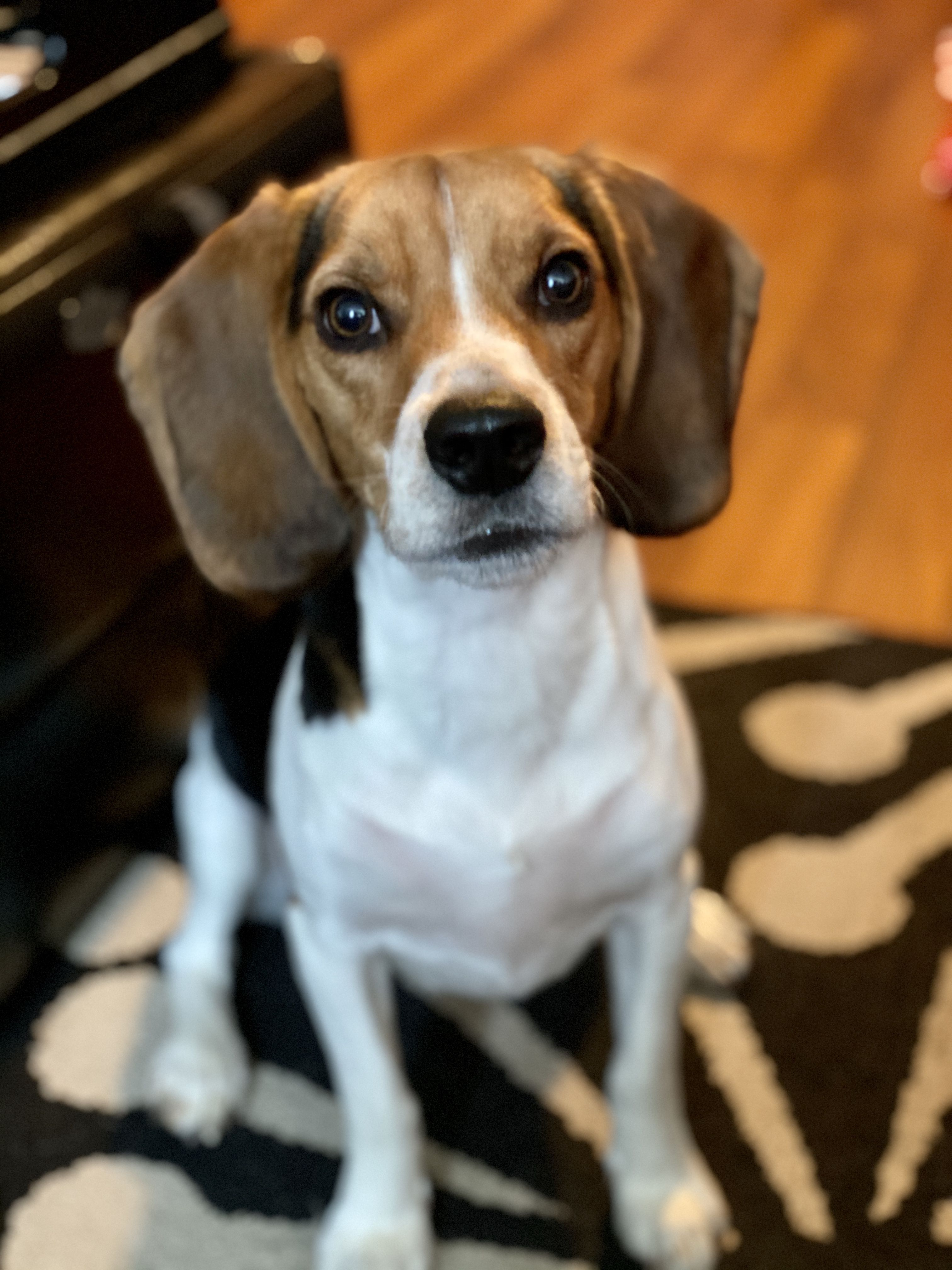 Training Snacks The One Year Old Beagle In 2020 Beagle Dog
