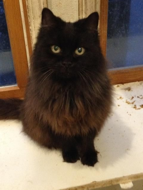 Meet Midnight A Petfinder Adoptable Domestic Long Hair Black Cat Plainfield Ct Please Contact The Shelter Fo Fluffy Black Cat Gorgeous Cats Beautiful Cats