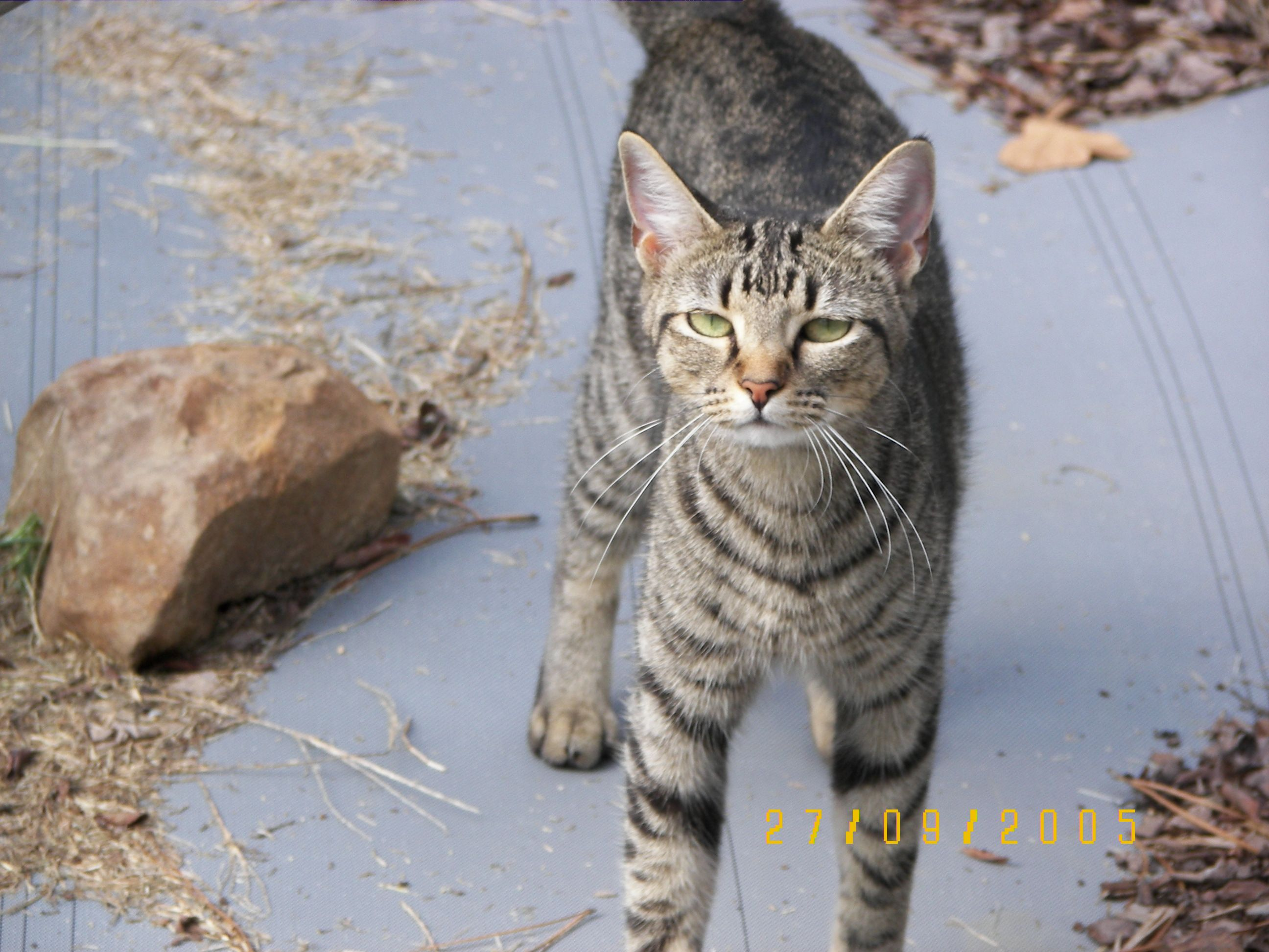 Abby the Tabby - Looking Tough!