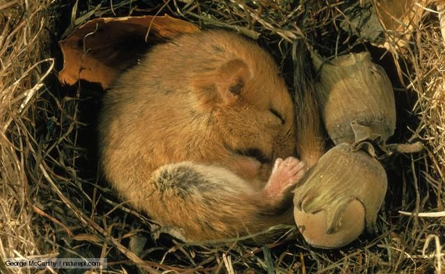 A hibernating dormouse curled up asleep in its nest next to hazelnuts... great pictures of animals hibernating.