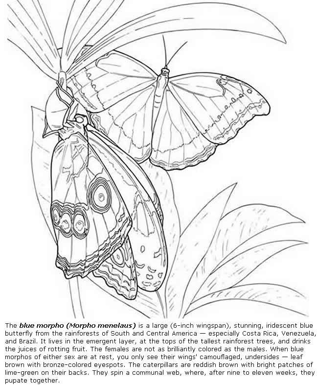 blue morpho butterfly coloring pages colouring adult