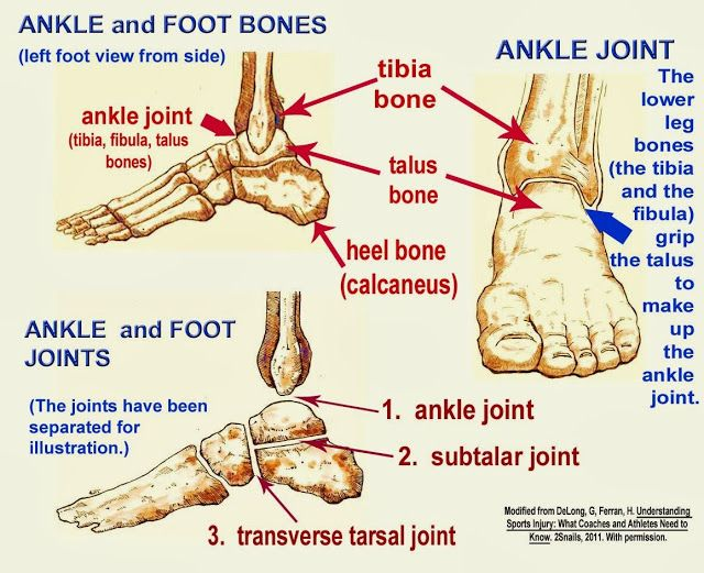 Ankle Joint Anatomy Skeletal System Pinterest Anatoma