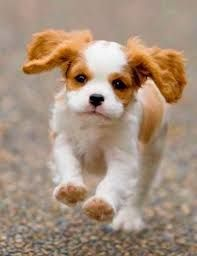 Image Result For Small Dog Breeds That Stay Small And Don T Shed Cute Animals King Charles Cavalier Spaniel Puppy Cute Puppies