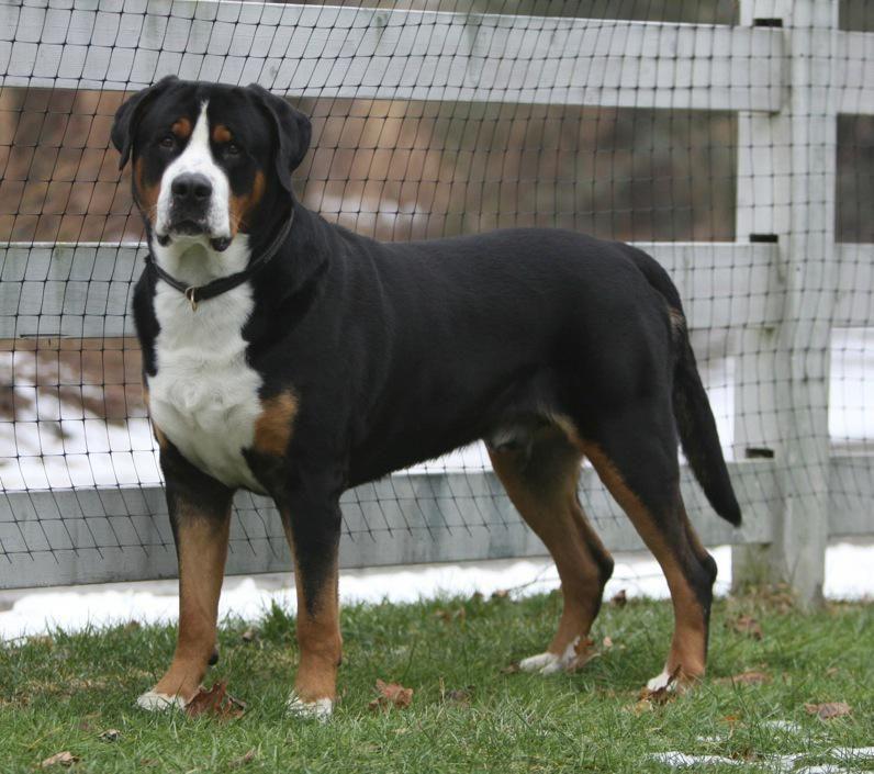Greater Swiss Mountain Dog Dog Breed Information Swiss