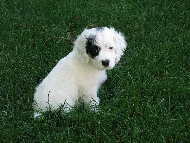 Rocky As A Puppy White Cockapoo With One Black Eye Cockapoo Dogs Fur Babies