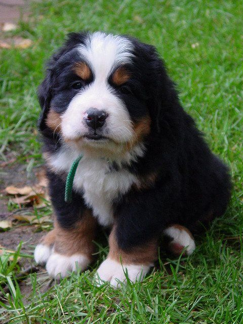 He S So Fluffy And Uhh Look At Those Monster Paws Burmese Mountain Dog Puppy Burmese Mountain Dogs Dogs And Puppies