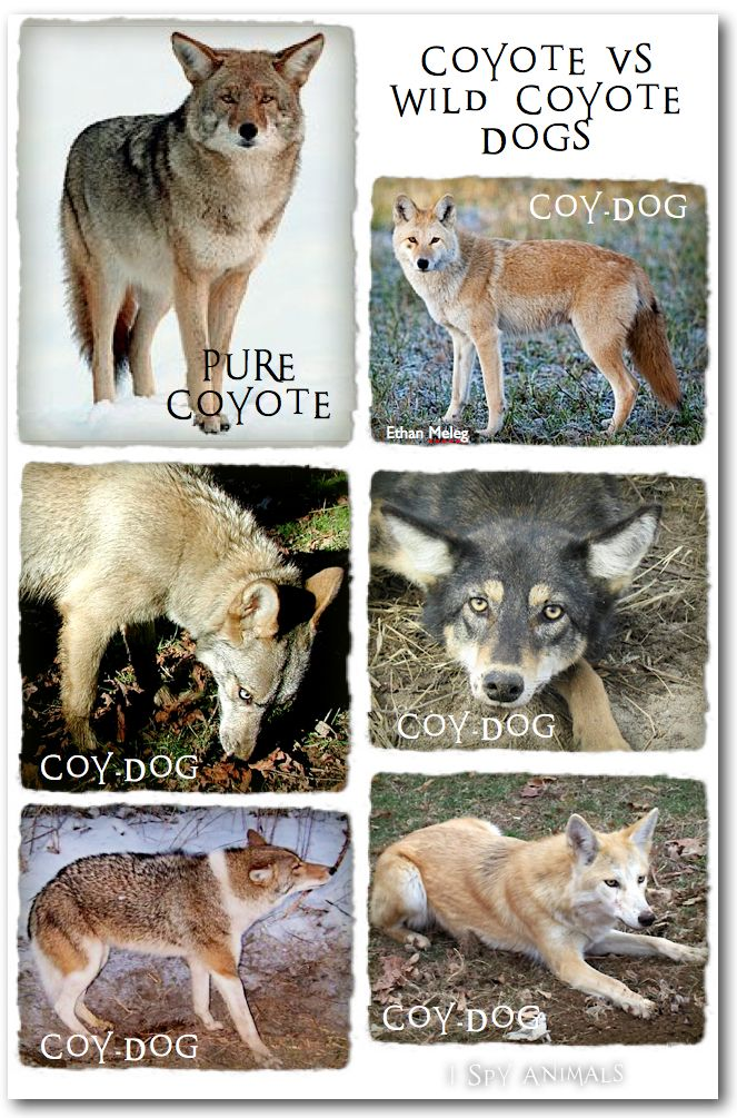 When Dogs And Coyotes Cross Wolf Dog Dog Love Dogs