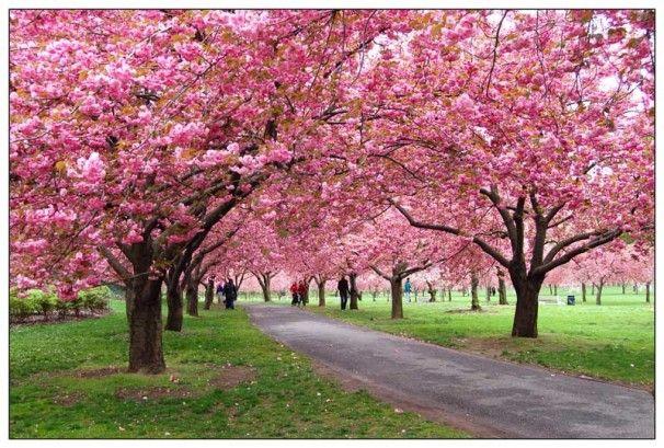 Cherry Blossom S At The New York Botanical Garden Gardens